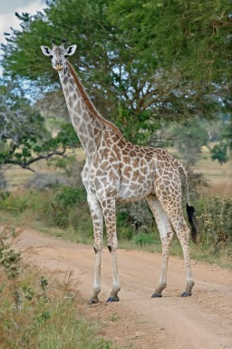Female_Giraffe_Mikumi_National_Park