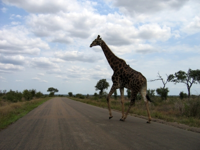 giraffe_crossing_the_road_in_kruger_national_park