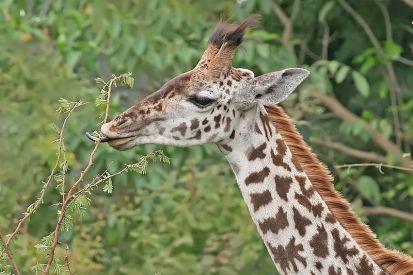 Giraffe_feeding,_Tanzania_crop