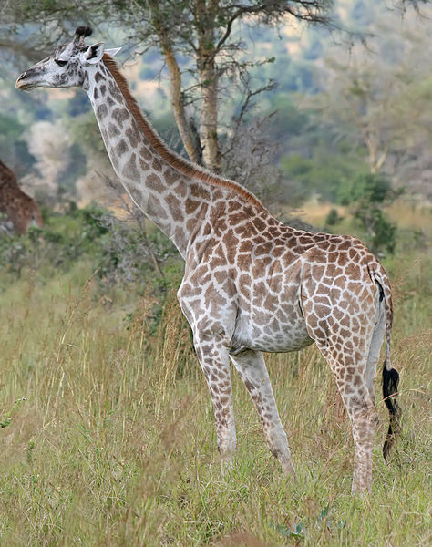 Giraffe_Mikumi_National_Park