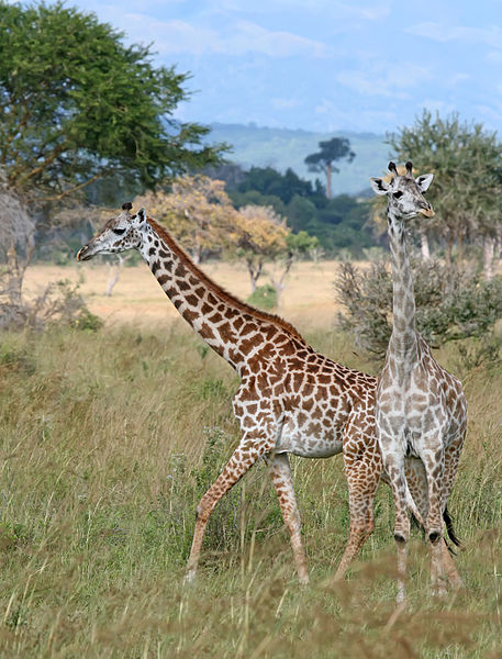 Giraffes_Mikumi_National_Park