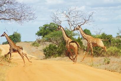 Why did the giraffe cross the road?